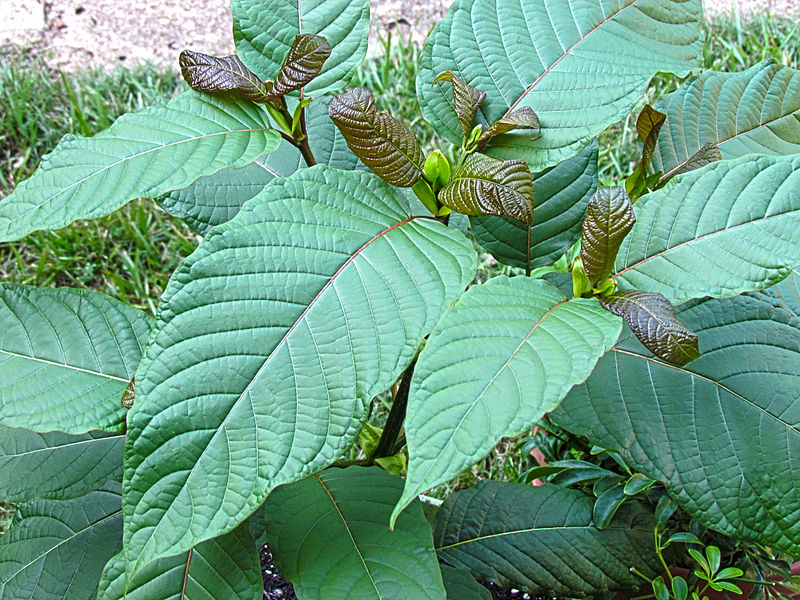Mitragyna Speciosa tree commonly known as Kratom or Krathom