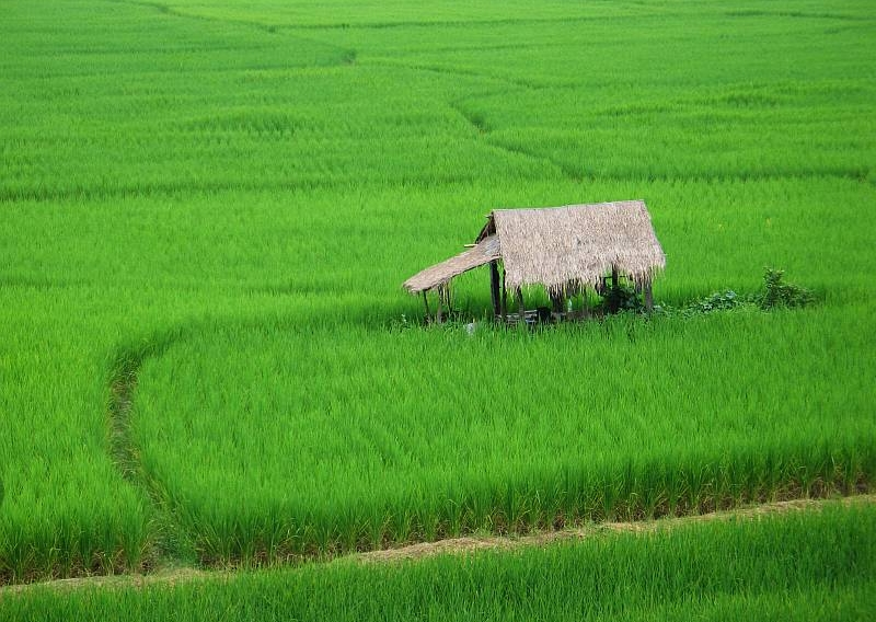 Rice field in northern Thailand
