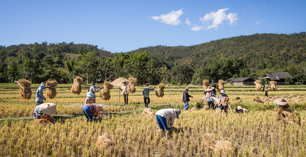 Rice farmers in Mae Wang, Chiang Mai
