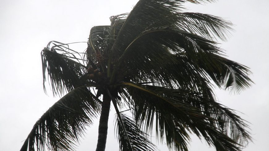 Wind from Typhoon Chaba blows through the fronds of a tree