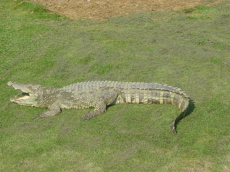 Siamese crocodile at Bangkok aquarium