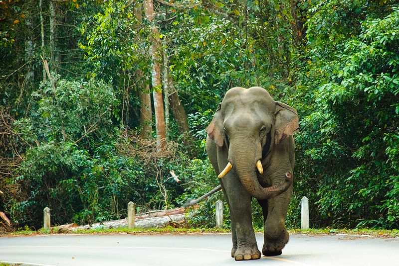 Two hurt in Rayong elephant attack